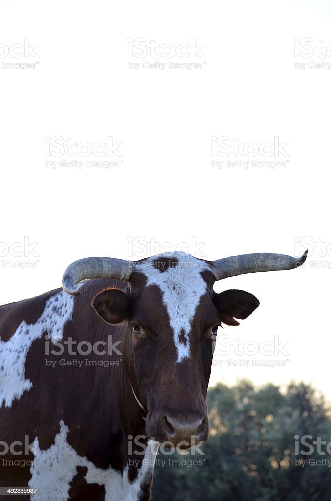 Brown and white Nguni cow with scewed horns stock photo