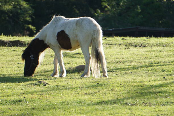 Brown and white pony stock photo