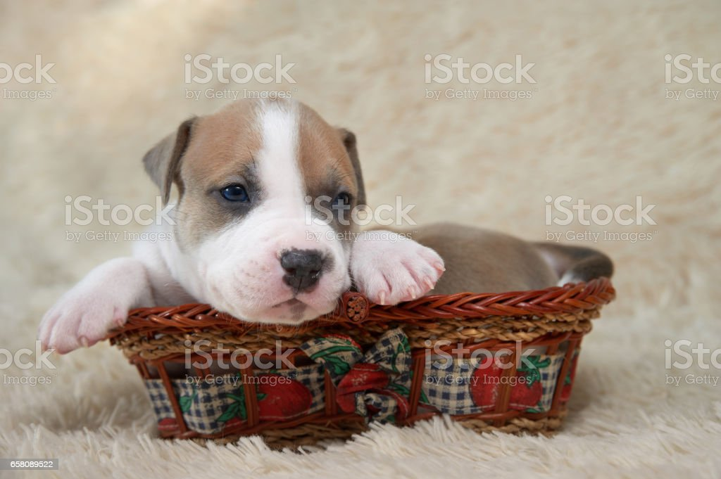 brown and white puppy of the American Staffordshire terrier lying in a basket royalty-free stock photo