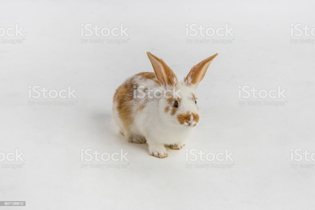 Brown and white rabbit on a white cyc background in the studio stock photo