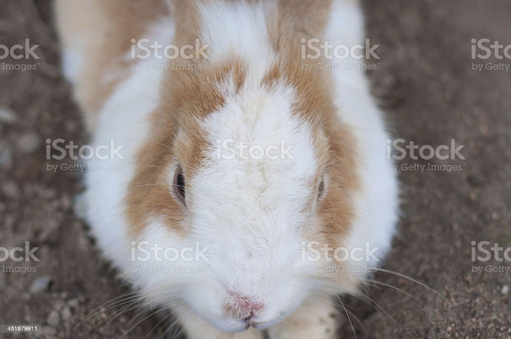 Brown and White Rabbit royalty-free stock photo