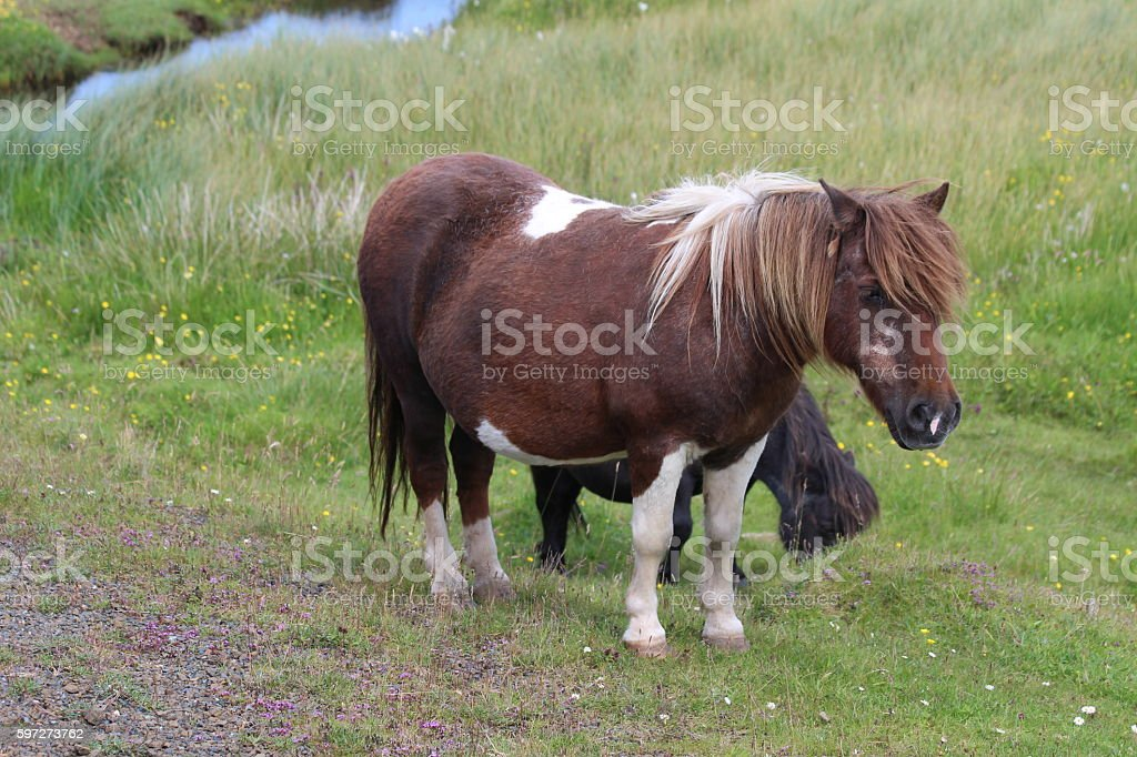 Brown and white Shetland Pony royalty-free stock photo