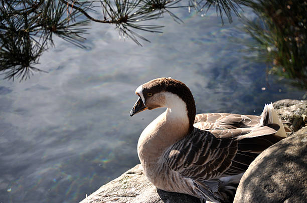 Brown And White Sitting Duck