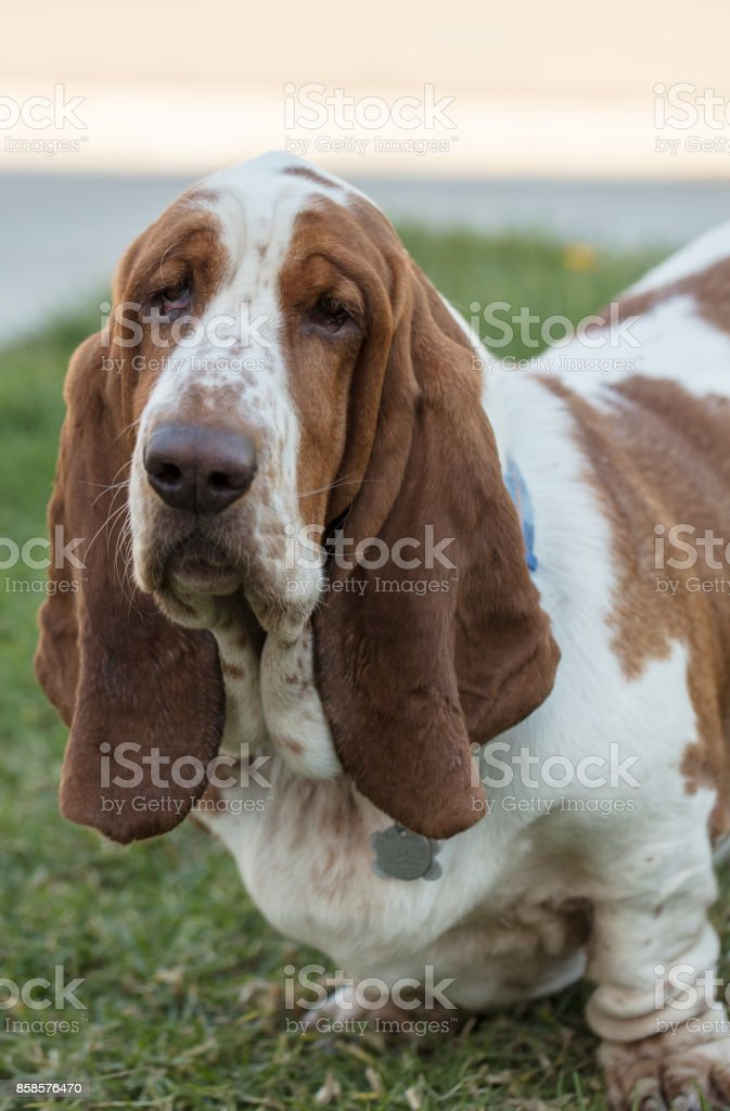 Brown and White spotted Basset Hound Dog stock photo