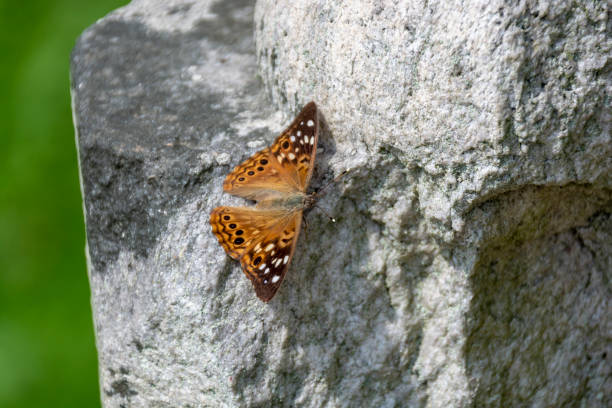 A brown and white spotted Hackberry Emperor butterfly suns itself on a rock in the summer sunshine. stock photo