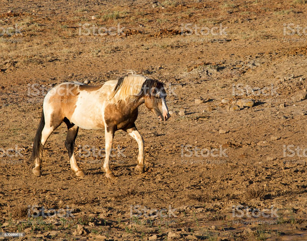 Brown and White Wild Stallion foto royalty-free