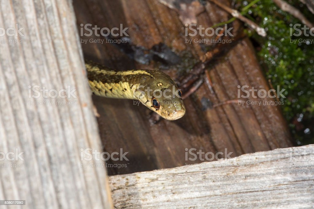 Brown and yellow garter snake in a New Hampshire bog. stock photo