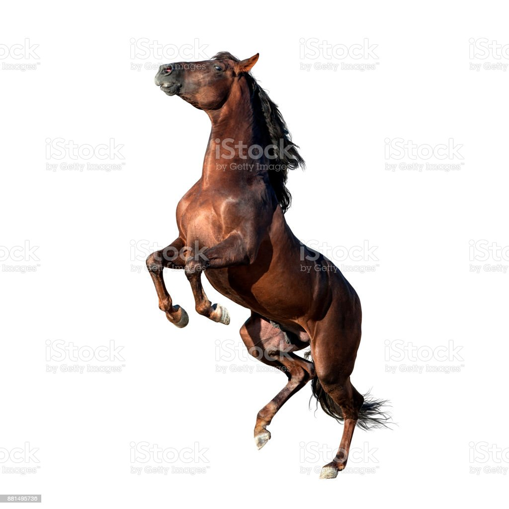 brown andalusian horse isolated on white stock photo
