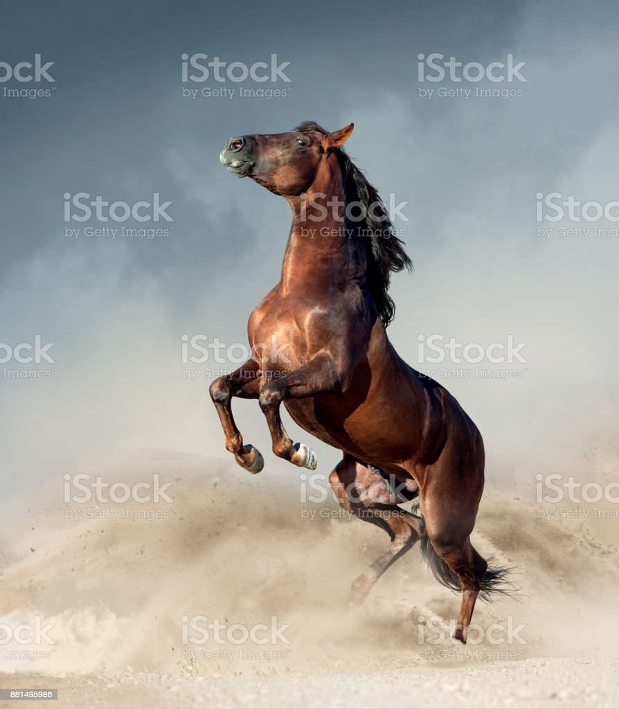 brown andalusian horse rearing up in desert stock photo