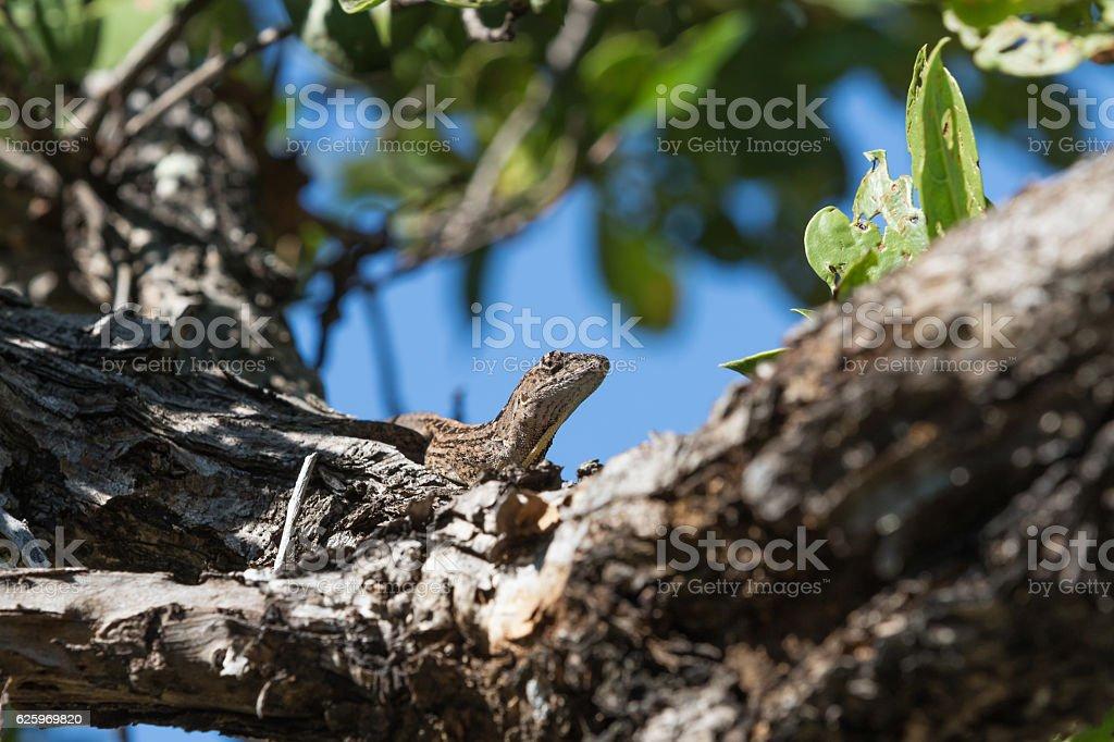 Brown Anole Lizard On A Tree, Tavernier, Key Largo, Florida stock photo