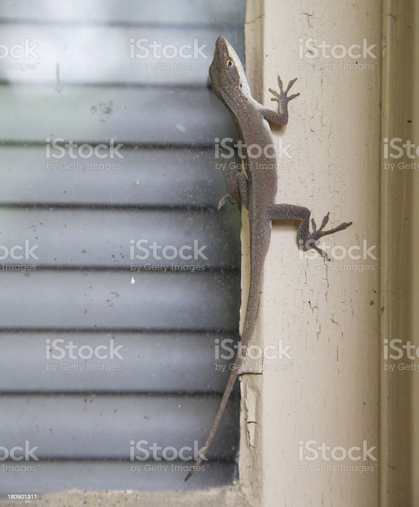 Brown Anole on a Window Frame stock photo