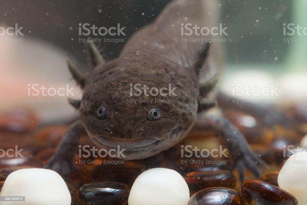Marrón axolote en primer plano - foto de stock