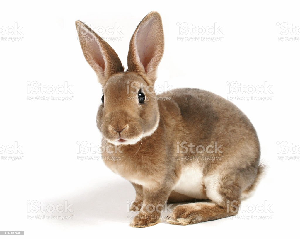 Brown baby bunny isolated on white stock photo