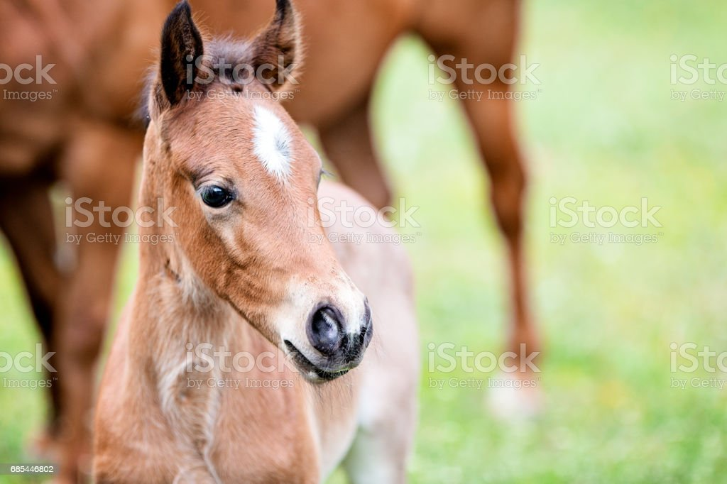 Brown Baby Horse Outdoors Closeup Stock Photo Download Image Now Istock