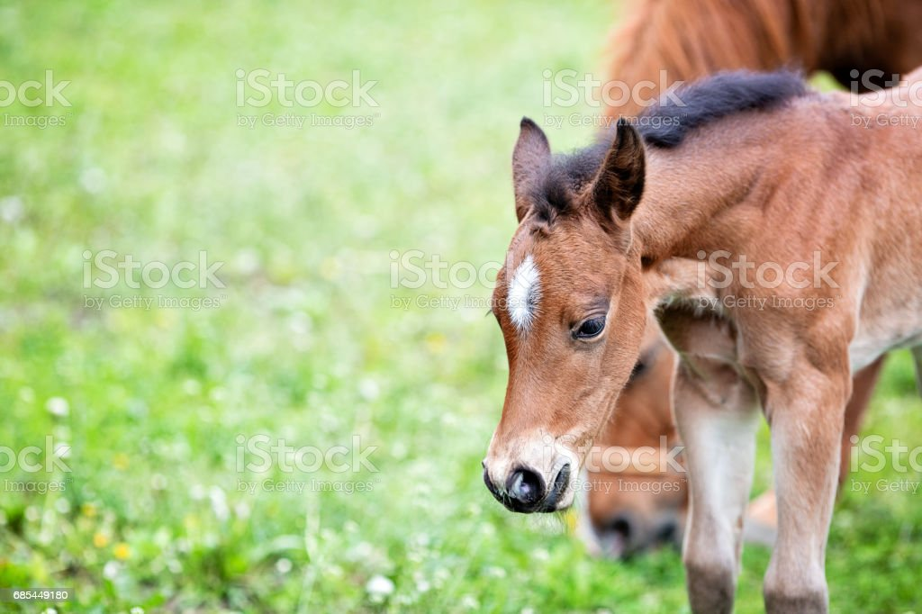 Brown baby horse outdoors, close-up foto de stock royalty-free
