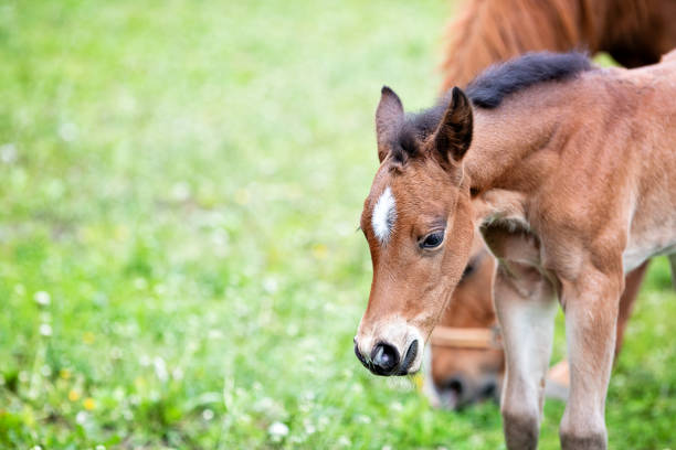 Brown baby horse outdoors, close-up stock photo