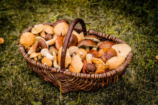 brun korg full av skogssvampar - höst plocka svamp bildbanksfoton och bilder