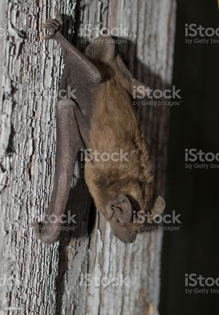 Brown Bat Animal Hanging On A Wooden Board Side View Stock Photo