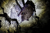 istock Brown bat hanging in chalky cave 1077864250