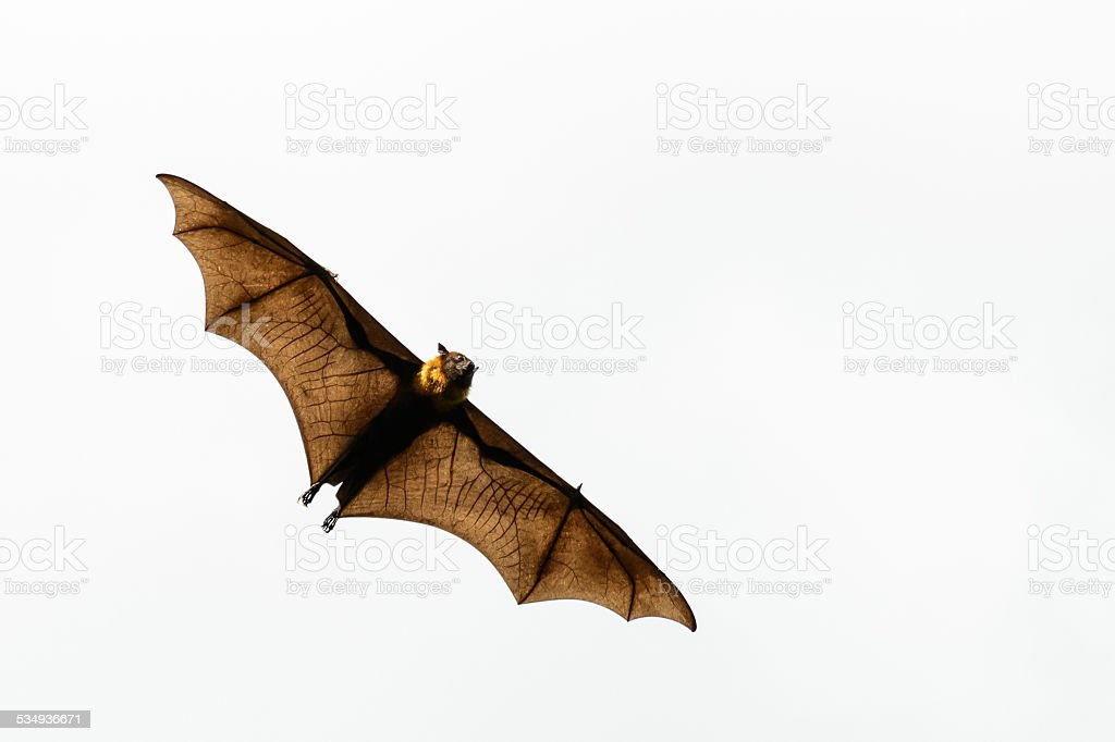 Brown Bat stock photo