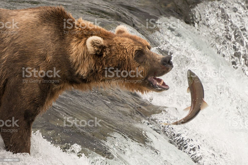 Brown bear about to catch a salmon stock photo