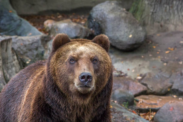 brown bear among rocks - wildlife conservation stock photos and pictures