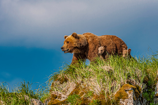 Brown Bear and Cubs on Watch, Ursus arctos, Hallo Bay, Katmai National Park, Alaska. Mother with cubs on a rocky hill looking for the male bear.