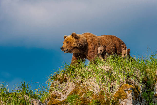 Brown Bear and Cubs on Watch, Ursus arctos, Hallo Bay, Katmai National Park, Alaska. Mother with cubs on a rocky hill looking for the male bear. Brown Bear and Cubs on Watch, Ursus arctos, Hallo Bay, Katmai National Park, Alaska. Mother with cubs on a rocky hill looking for the male bear. animal family stock pictures, royalty-free photos & images