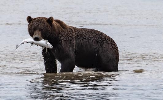 USA, Alaska, Brown bear (Ursus arctos) catching salmon