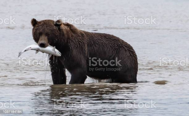 Brown bear and the salmon picture id1037184184?b=1&k=6&m=1037184184&s=612x612&h=0eurhq7x1fgxgm oj1kyfph0hllaxg2cntk0ium9ucw=