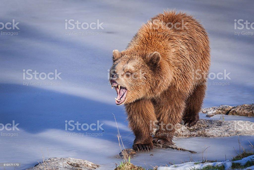 Brown Bear at frozen Lake stock photo