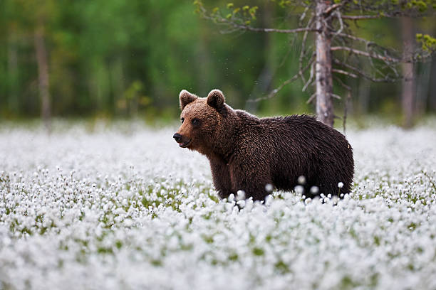 Brown bear between the cotton grass stock photo