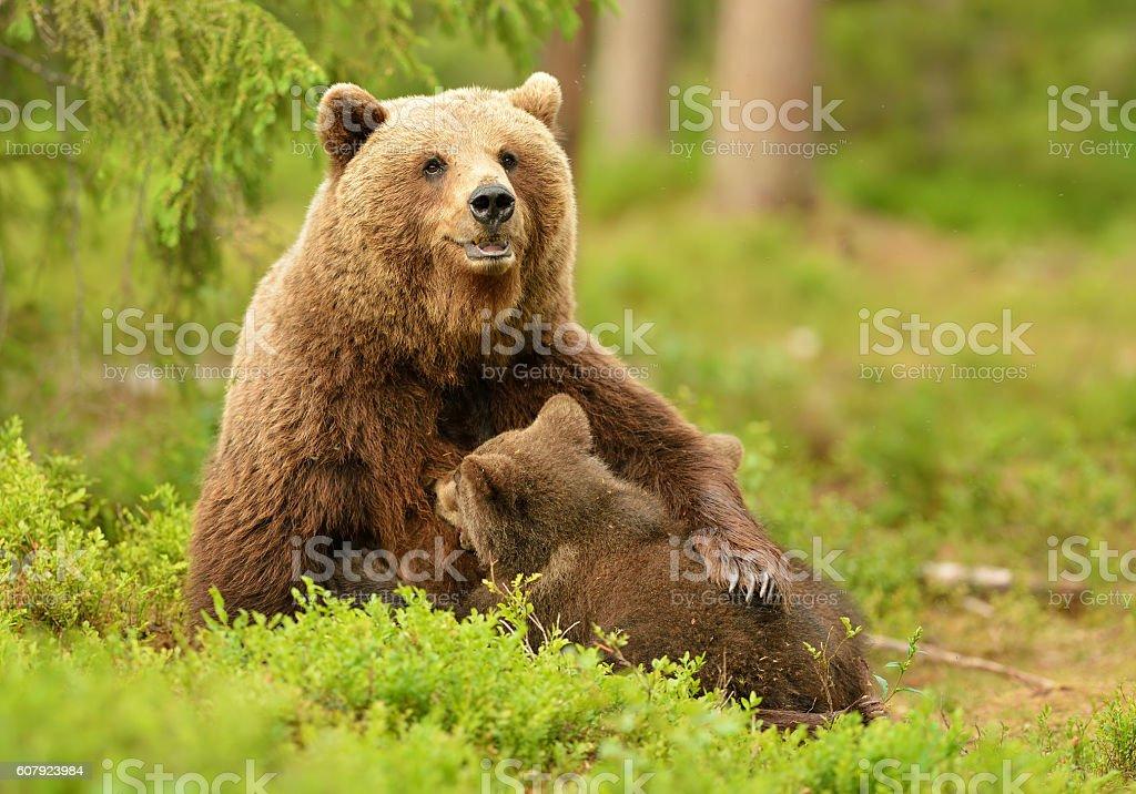 Brown bear breastfeeding cubs stock photo