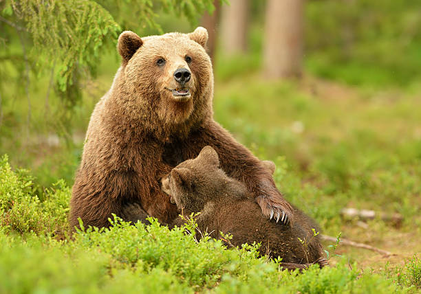 brown bear breastfeeding cubs - ourson photos et images de collection