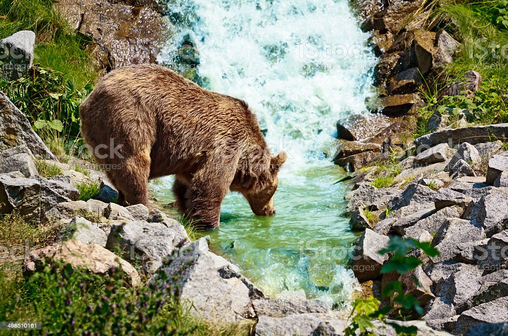 Brown bear by the stream stock photo