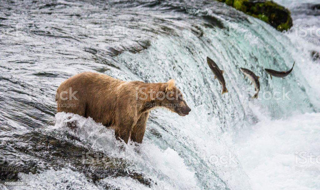 Brown bear catches a salmon in the river. stock photo
