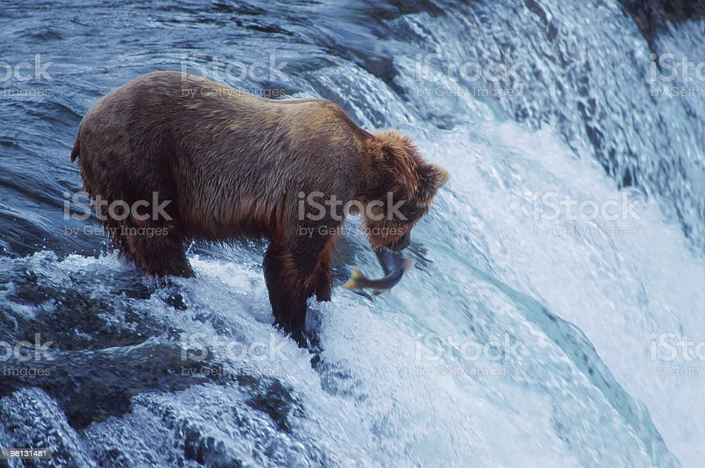 Brown bear catching salmons in a river, on the waterfall royalty-free stock photo