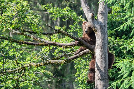 brown bear climbing up a tree