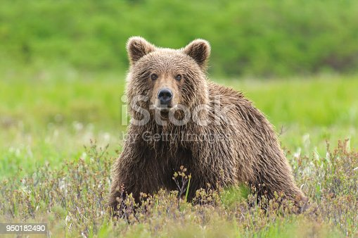 Brown Bear Close Up in Green Sedge Field