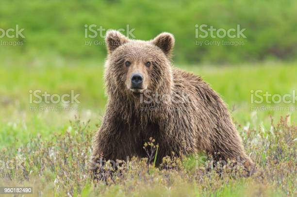 Brown bear close up in green sedge field picture id950182490?b=1&k=6&m=950182490&s=612x612&h=igd7tt6xf8bip3c7pce8 hczzuoadp3cgupfr8kncmk=
