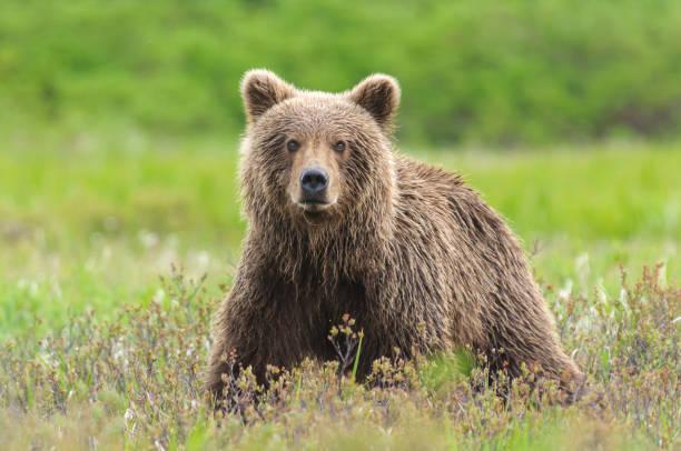 urso pardo fechar em campo verde junça - urso - fotografias e filmes do acervo