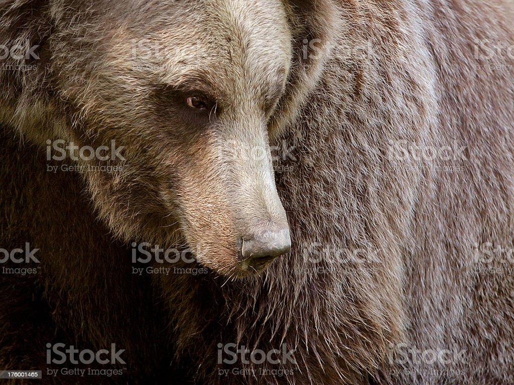 Brown Bear Close Up stock photo