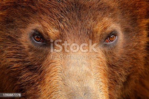 Brown bear, close-up detail eye portrait. Brown fur coat, danger animal. Wildlife nature. Fixed look, animal muzzle with eyes. Big mammal from Russia. Art view on nature. Bear face. Aggressive animal.