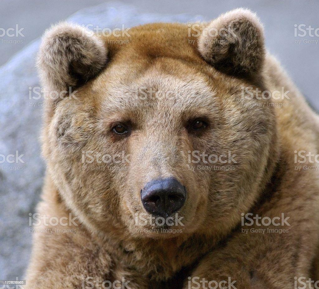 brown bear - closeup stock photo