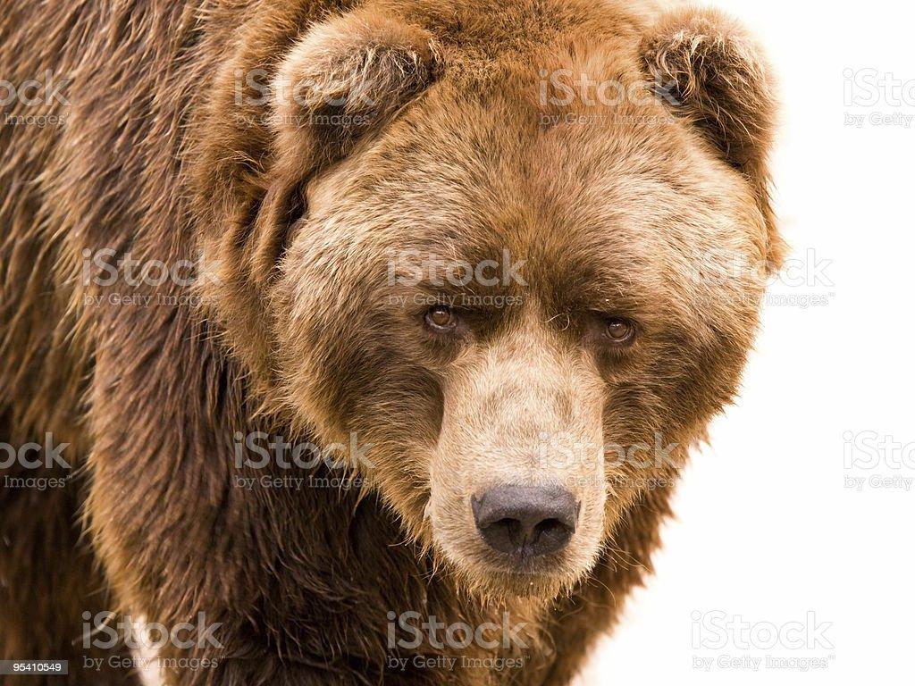 Brown bear close-up portrait stock photo