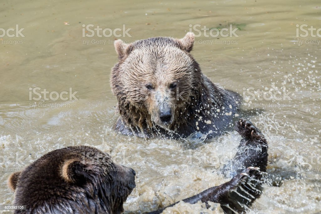 Brown bear couple cuddling in water. A couple of brown bears play in...