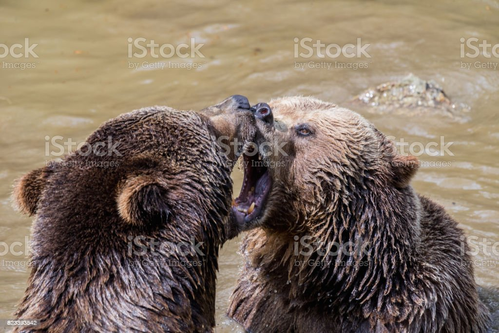 Brown bear couple cuddling in water. Two brown bears play in the...