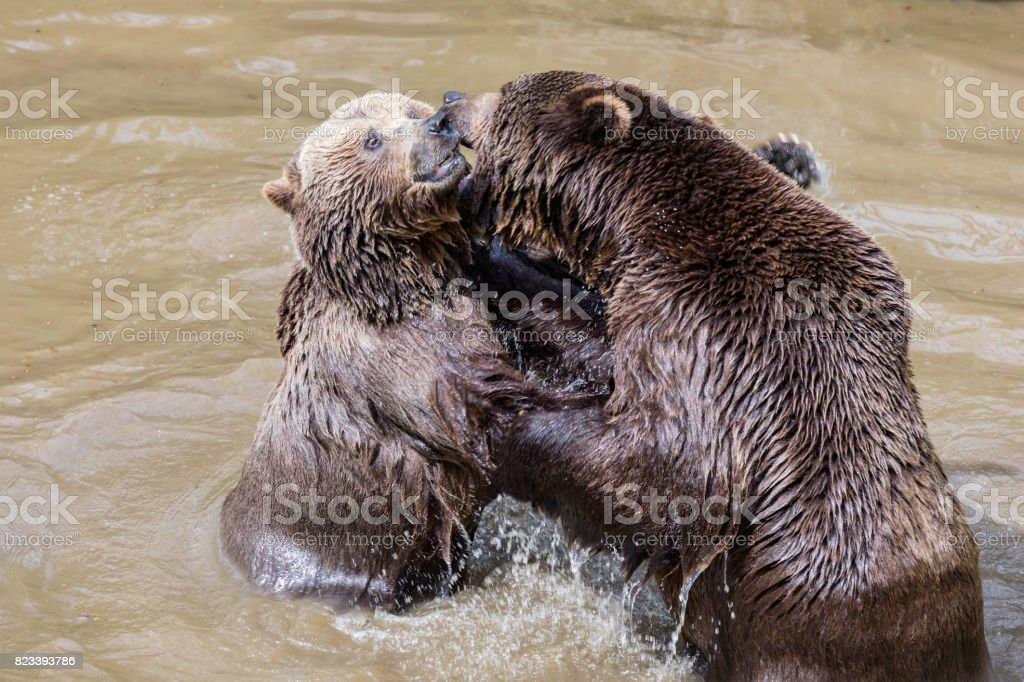 Brown bear couple cuddling in water. Two brown bears play in the water. stock photo