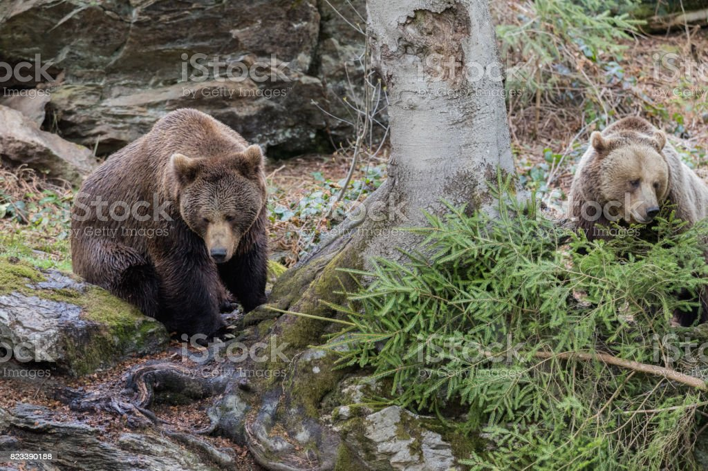 Brown bear couple. Two brown bears in the forest. Big Brown Bear. Ursus arctos. stock photo