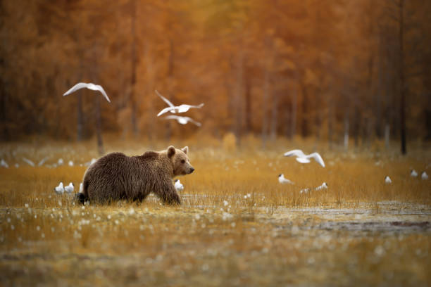 Brown bear crossing the swamp stock photo